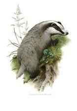 Impression Affiche Art Print Histoire Naturelle le Blaireau Commun , Meles meles