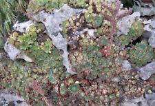 ♫ JOUBARBE 'Rosace Verte' - Sempervivum ♫ Graines ♫ Plante Décorative Rocaille ♫