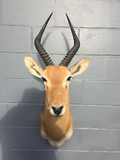 **African Puku Shoulder Mount** AFRICA SAFARI HUNTING Lodge DECOR TAXIDERMY @@