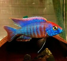 "(5) 3/4'-1"" UNSEXED JUVENILE RED FLUSH Peacock African Cichlids!"