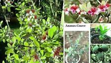 Spektakulär! Zimmerpflanze Ananas-Guave leckere Früchte