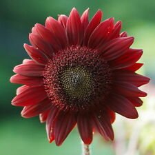 15pcs Good Luck Sunflowers Seeds Helianthus Annuus Original Packaging Seed