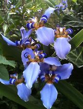 Neomarica fluminensis Bluebird of Paradise Rare Winter Flowering Evergreen Iris