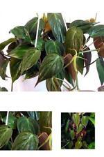 "Plant Rare Velvet Leaf Bronze Micans Vine Indoor Easy to Grow - 4""pot Best Gift"