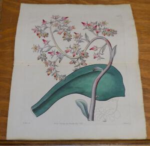1829 Antique Color FLORAL Print///GIBBOUS-FLOWERED ECHEVERIA, or, ECHEVERIA GIBB