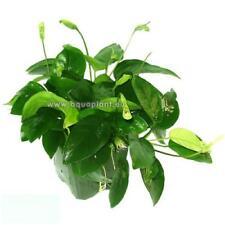 Anubia Nana Mutterpflanze, robuste Wasserpflanze, Aquariumpflanze, Barschfest