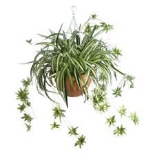 Botanica Spider Fern in Hanging Basket By Spotlight