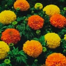 FLOWER AFRICAN MARIGOLD CRACKERJACK MIXED  1900 FLOWER SEEDS