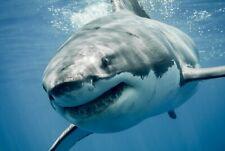 A1   Great White Shark Poster Art Print 60 x 90cm 180gsm Ocean Sea Gift #8474
