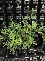 PELARGONIUM DENTICULATUM V. FILICIFOLIUM SCENTED GERANIUM PLANT!