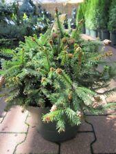 Picea abies Pusch - Zwergfichte Pusch -