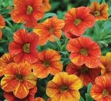 50 Red Yellow Orange Petunia Seeds Flower Perennial Flowers Annual Seed 1216