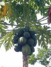 Zimmerbaum immergrün farbenfroh ganzjährige exotische Samen  PAPAYA