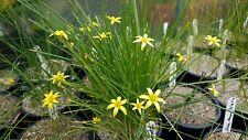 Romulea hirta, 20 seeds