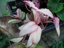 House Plants / wandering jew, tradescantia, variegated