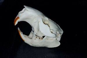 Real Grade A North American Beaver Animal Rodent Rat Skull - Skeleton Taxidermy