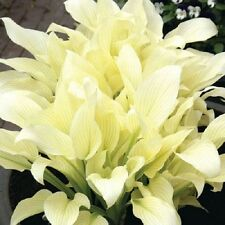 White Feather Hosta Plant 2 Years Old Plant Spring Shipping