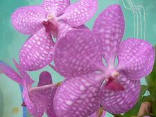 Orchid Vanda Tokyo Pink Exotic Tropical Plants