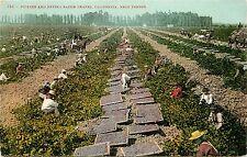 1907-1915 Printed Postcard Picking, Drying Raisin Grapes near Fresno CA Unposted