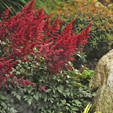 Astilbe 'Red Fanal' Super Large Bare root plant with multiple buds Awesome