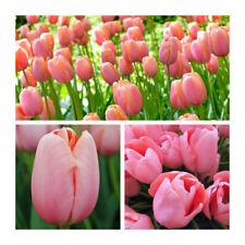 Menton Tulip x 30 Bulbs.Beautiful Spring Single Late Pink Flowers.