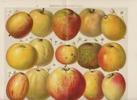 1894 APPLE FRUIT Antique Chromolithograph Print