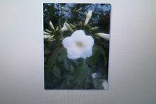 10 Samen Pandorea jasminoides alba,Weißer Laubenwein, # 225