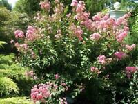 (4 pack) William Toovey Crepe Myrtle Trees-PINK BLOOMS- Qt size-1 ft tall