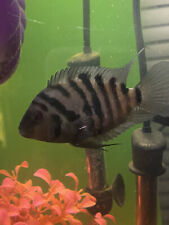 New listing Cichlid Covicts Fry - Lot Of 10