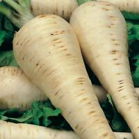 Parsnip- Hollow Crown- 100 Seeds- BOGO 50% off SALE