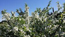 "Flowering Roselow Sargent Crabapple Shrub 6-12"" Lot Of 25"