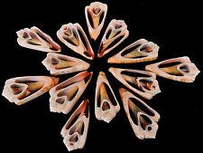 "6 Center Cut Strawberry Strombus Shells Craft 1 1/2""-2"" Beach Nautical Seashells"