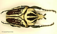 Goliathus orientalis preissi usambarensis - male, Amazing dark form! 77mm, A-