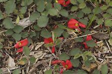 Running Postman  (Kennedia prostrata )  30 Fresh Seeds