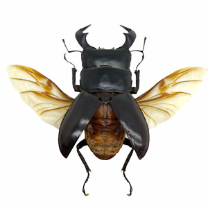Black Stag Beetle (Dorcus bucephalus) (SPREAD) Insect