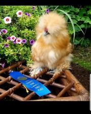 1 EGG OR MORE Show Bearded Silkie Hatching Eggs Crested and Bearded NPIP