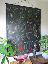 ORIGINAL VINTAGE DR AUZOUX PULL DOWN BOTANICAL SCHOOL CHALK CHART OF SEED GRAIN
