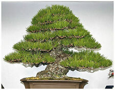 10 semi di Pinus Thunbergii, Pino Giapponese nero, semi bonsai