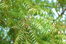 Neembaum Azadirachta indica Pflanze 5-10cm Neem Niembaum Neempflanze Niem
