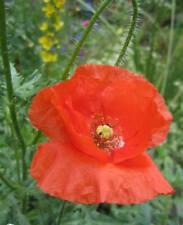 """Pack x6 Poppy Papaver orientale aux Dames /""""MARIAGE ROYAL/"""" VIVACE PLUG plantes"""
