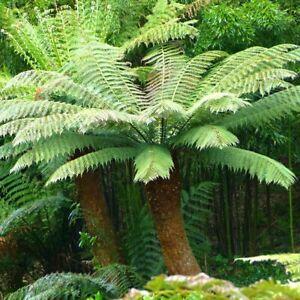 Tree Fern-Dicksonia antarctica Plant in 9 cm Pot
