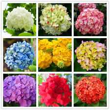 300 Seeds Hydrangea Flowers Mixed 20 colors For Garden Flower Seeds