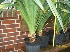 Yucca gloriosa, winterhart, stammbildende Palme, recurvifolia, Palmlilie,