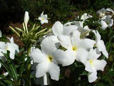 2 Feet Plumeria Pudica Bridal Bouquet White Frangipani Flower Plant