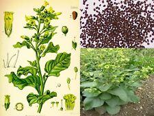 Nicotiana rustica-mapacho-Mocio Cap-tabacco selvatico-Azteco - 50+ semi-UK