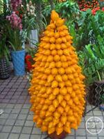Gold Berry Seeds Abiu Seed Caimito Seeds Vegetable Gold Berry Seeds Abiu Seeds
