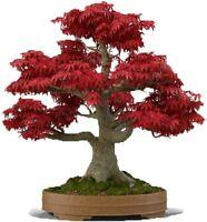 US-Seller 20Pcs Red Japanese Maple Tree Bonsai Seeds
