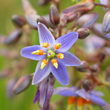 DIANELLA longifolia (Smooth Flax Lily) 30 seeds