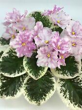 African Violet Rivermist Beguiling (J. Baker) Starter Plant