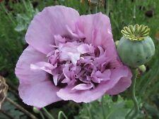 500 + Papaver Somnif Wild Poppy Flower seeds PURPLE stunner